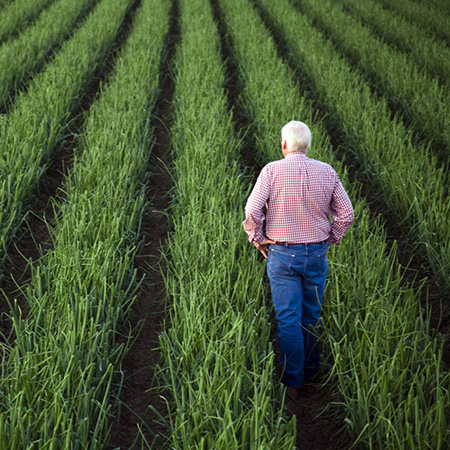 Image of man standing in onion field